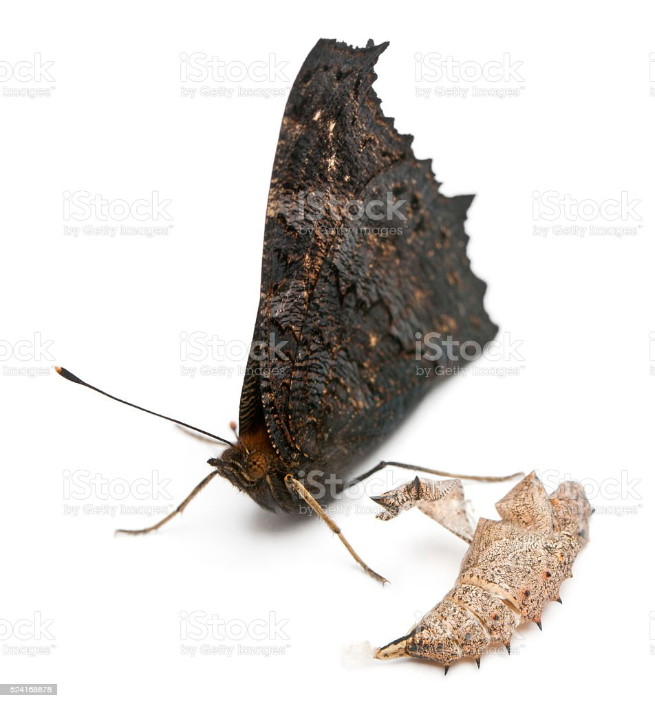 European Peacock moth, Inachis io, next to it's cocoon stock photo