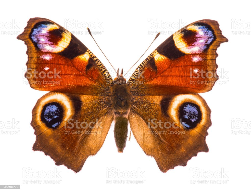European peacocok butterfly stock photo