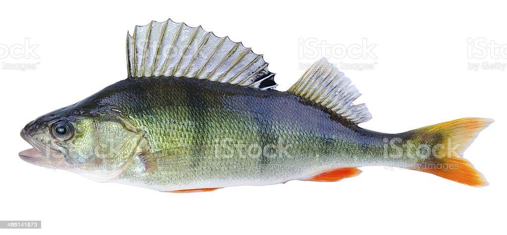 European perch fish stock photo
