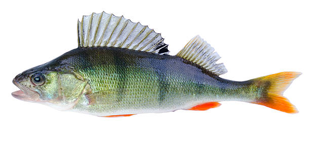 European perch fish European perch fish silhouette isolated on white background perch fish stock pictures, royalty-free photos & images