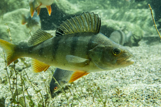 European perch stock photo