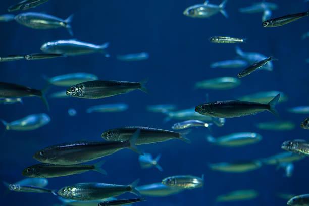 european pilchard (sardina pilchardus). - herring stock photos and pictures