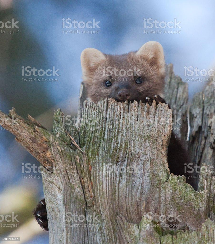 Europäische Baummarder in Baum hollow – Foto