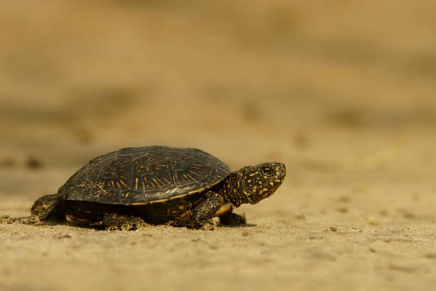 Europäische Sumpfschildkröte auf dem Stein (Emys Orbicularis) – Foto