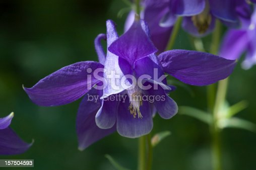 Close up shot of a single purple European columbine, Aquilegia vulgaris, shot at the Betty Ford Alpine Gardens in Vail, Colorado.  Unique to this species of the columbine, the vulgaris is easy to spot with its beautiful deep purple color and its nodding head.
