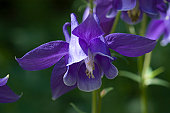 European Purple Columbine, Aquilegia vulgaris