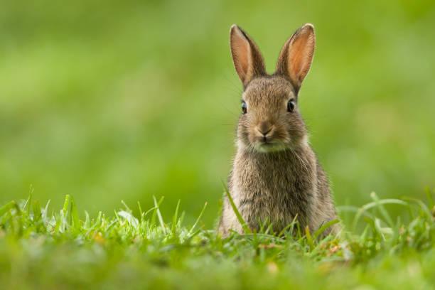 europäisches kaninchen (oryctolagus cuniculus) - hase stock-fotos und bilder