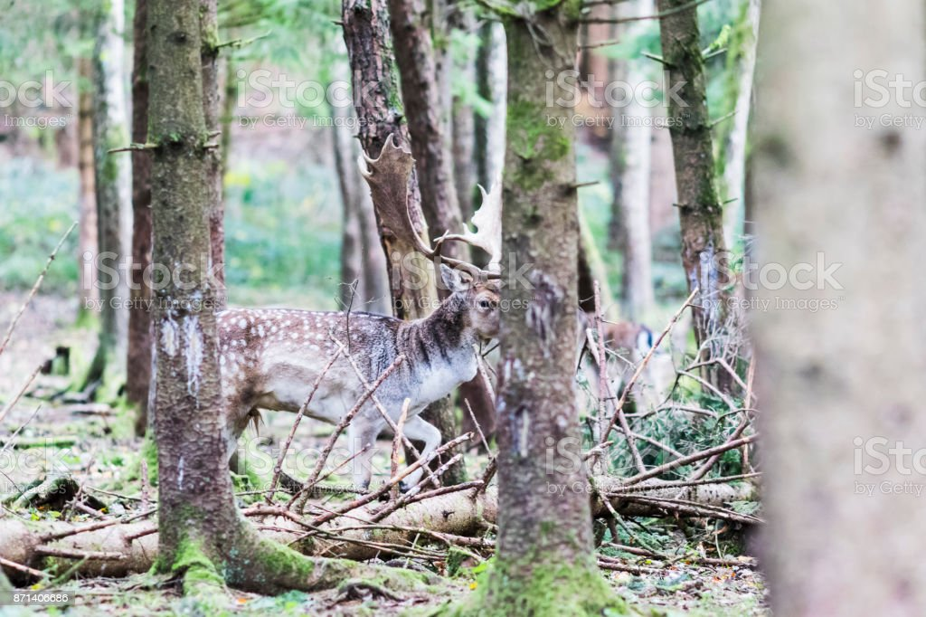 European red deer in the forest stock photo