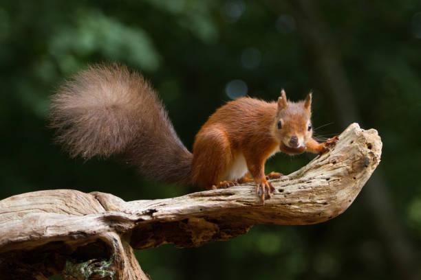 European Red Squirrel (sciurus vulgaris) In beautiful natural setting stock photo