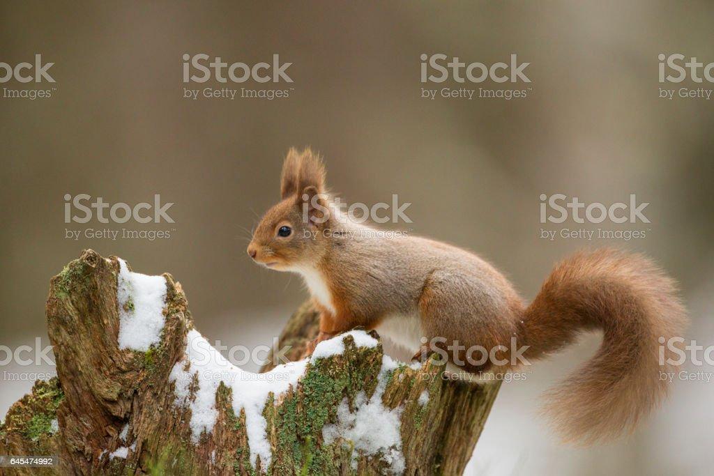 European Red Squirrel stock photo