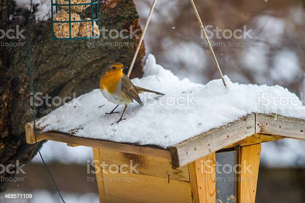 Photo of European Robin at the feeding place in winter