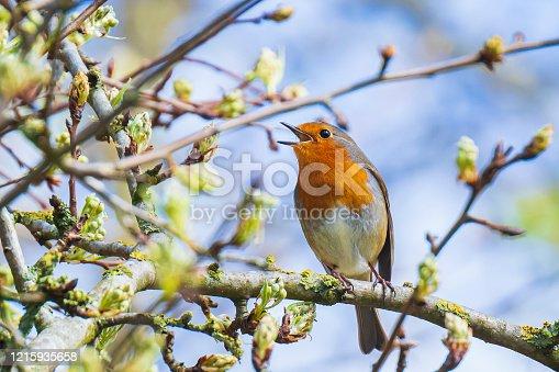 istock European robin bird Erithacus rubecula singing 1215935658
