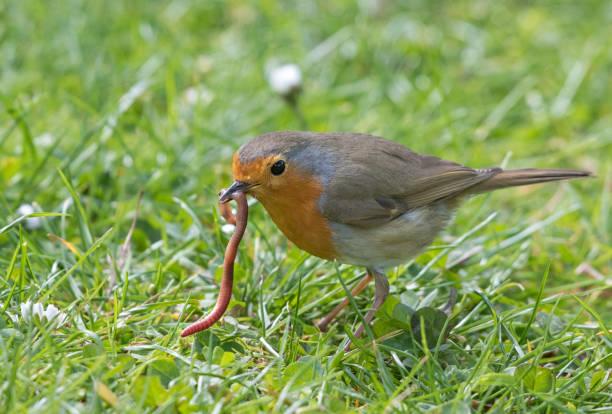 European robin (Erithacus rubecula) catching an earthworm stock photo