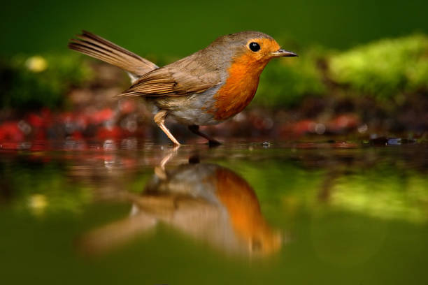 European Robin, Erithacus rubecula, orange songbird sitting in the water, nice lichen tree branch, bird in the nature habitat, spring - nesting time, Germany stock photo