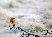 A European Robin, Erithacus rubecula, perching on a frosty branch with a defocussed snowy background.