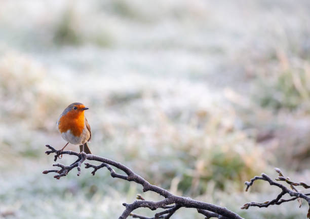 een europese robin, erithacus rubecula, neergestreken op een ijzige tak met een ongeconcentreerde besneeuwde achtergrond. - zangvogel stockfoto's en -beelden