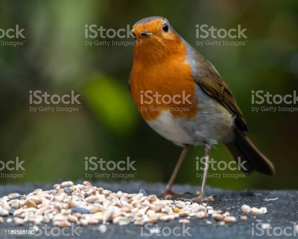 Photo of European Robin Feeding on Seeds