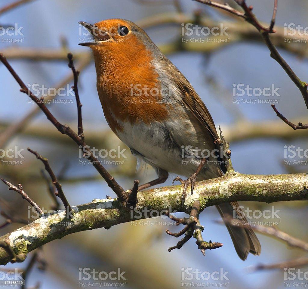 European robin in full song royalty-free stock photo