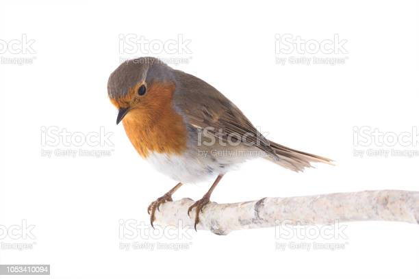 European robin isolated on a white picture id1053410094?b=1&k=6&m=1053410094&s=612x612&h=us2vgjjlglcfu9plkauh8jgbcnnmalftxehxarznmhw=