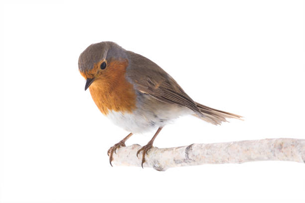 European robin isolated on a white picture id1053410094?b=1&k=6&m=1053410094&s=612x612&w=0&h=mvu3gjedkdrq2mbagjxg7hdrk i3igtgk5yb1ptdjby=