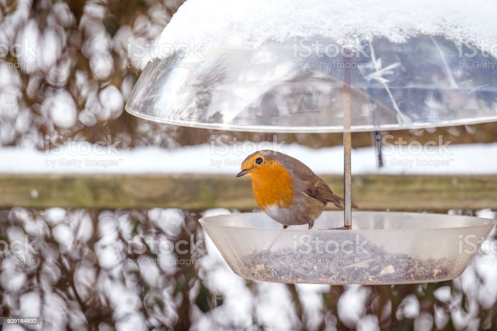 European Robin on a birdfeeder in the winter stock photo