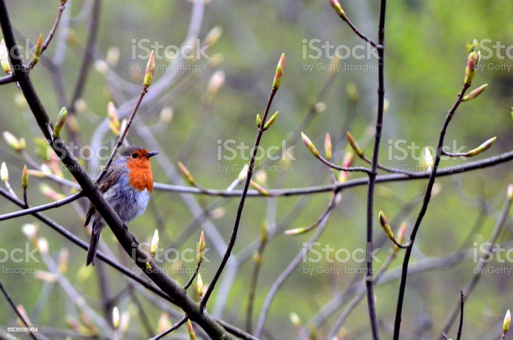 European robin on a branch stock photo
