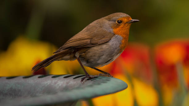 European Robin. stock photo
