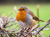 A European robin (Erithacus rubecula) is seen outdoors on 2 December 2017.