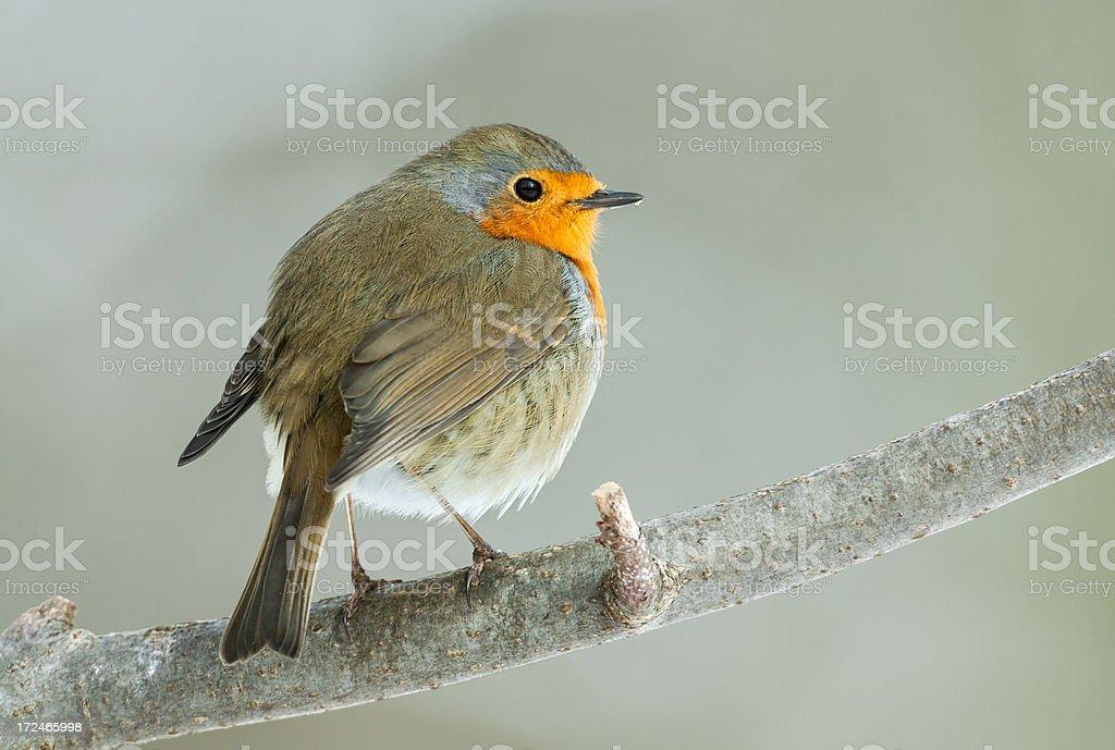 European Robin (Erithacus rubecula) royalty-free stock photo