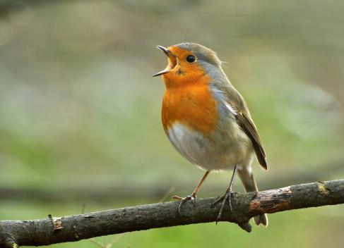 European Robin singing out loud.