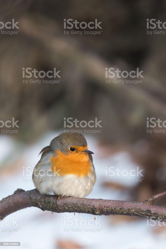 European robin royalty-free stock photo