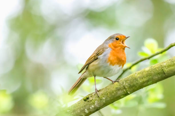 European robin singing on tree branch. European robin perching on tree branch and singing.Small, cute and colourful bird in british woodland.Bright and vibrant wildlife image with copy space. animal mouth stock pictures, royalty-free photos & images