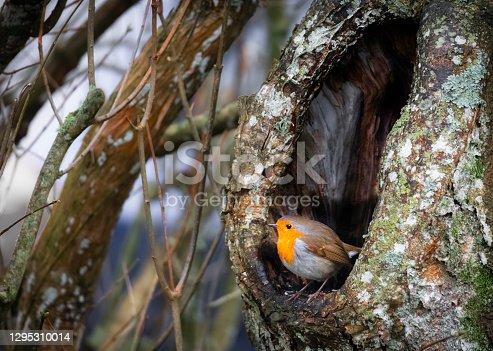 istock European Robin tree cave 1295310014