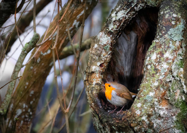 European Robin tree cave stock photo