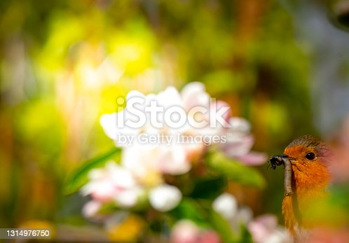 European Robin with food on a branch of an apple tree in bright morning sunlight.  It has a caterpillar and fly in its mouth and is partly obscured by out of focus foliage.