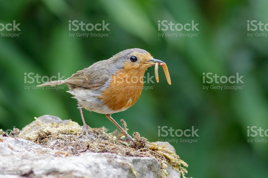European Robin (Erithacus rubecula) with mealworms stock photo