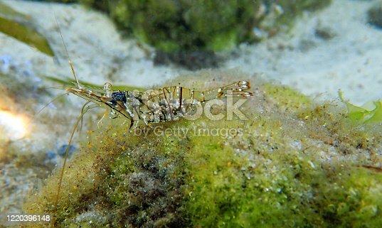 European rock pool shrimp - Palaemon elegans