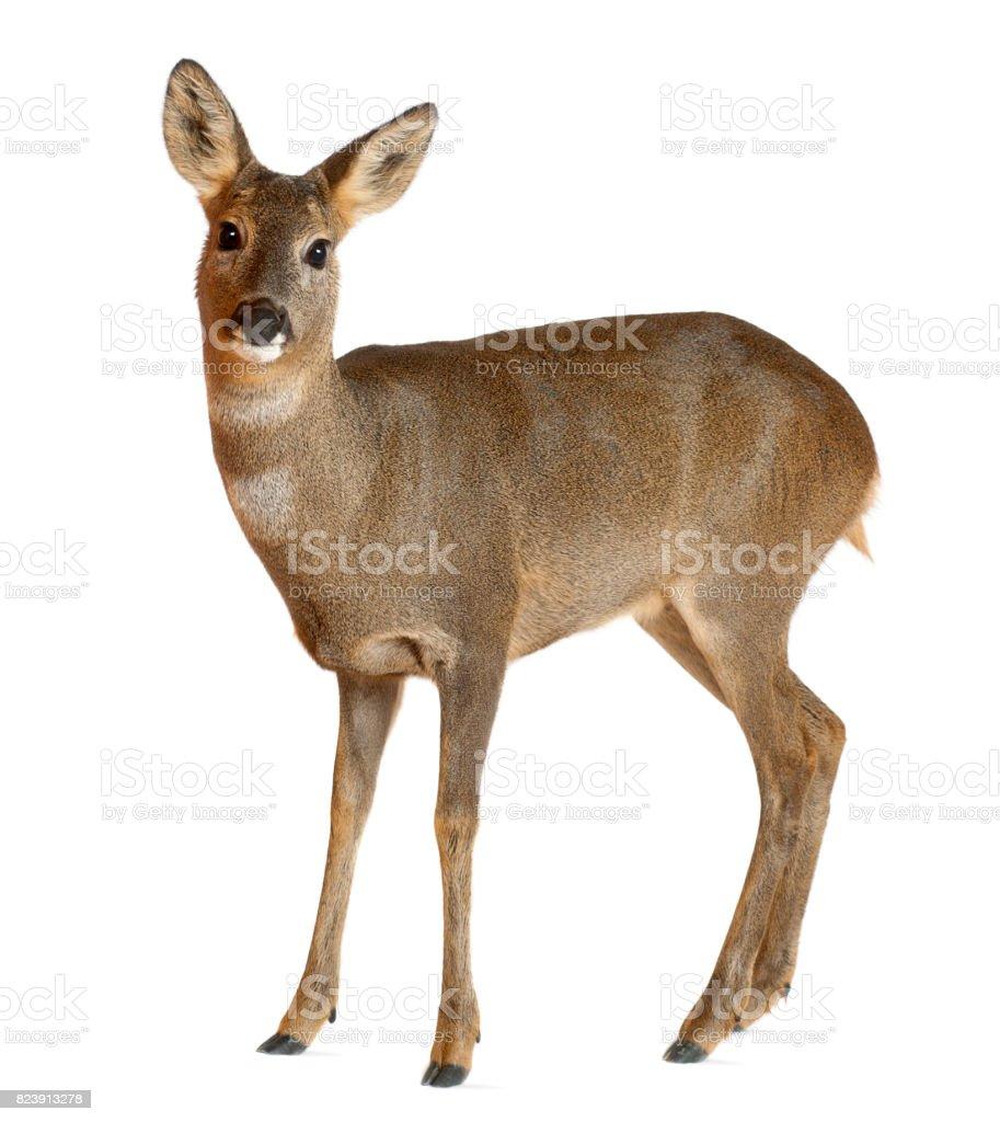 European Roe Deer, Capreolus capreolus, 3 years old, standing against white background stock photo