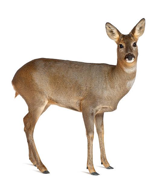 european roe deer, capreolus capreolus, 3 years old, standing - reh stock-fotos und bilder