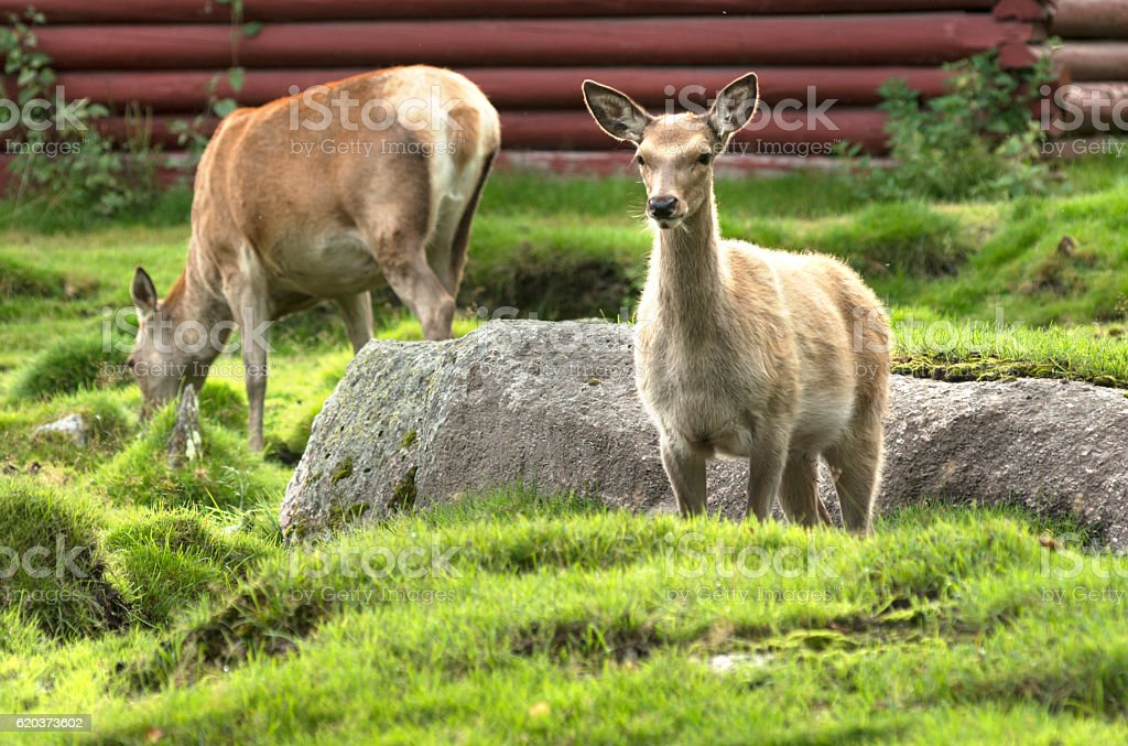 European Roe Deer foto de stock royalty-free