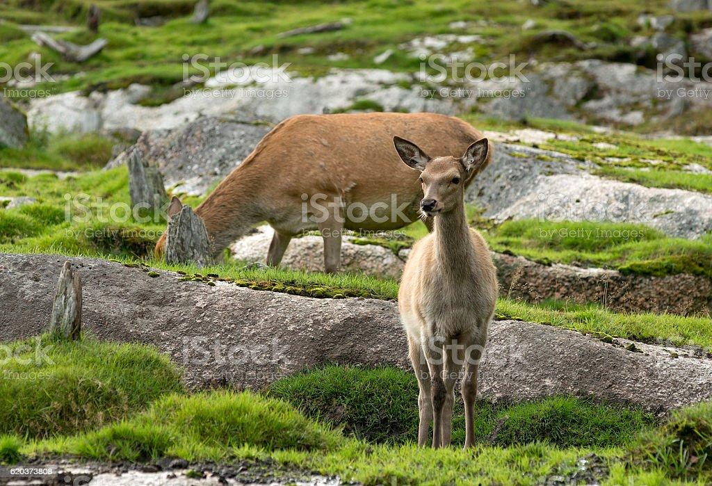 European Roe Deer zbiór zdjęć royalty-free