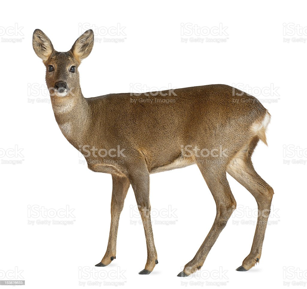 European Roe Deer standing against white background stock photo