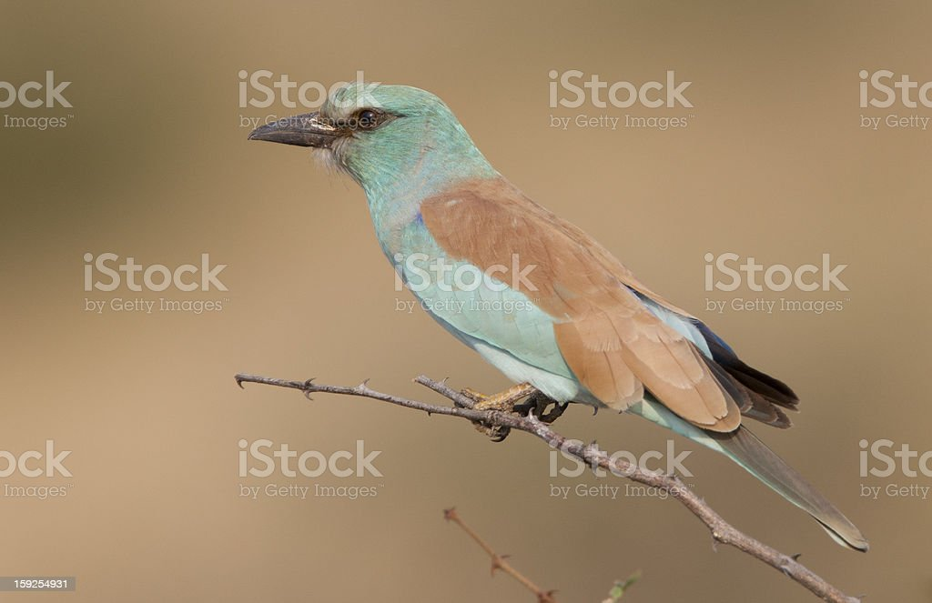 European Roller Coracias garrulus, South Africa royalty-free stock photo