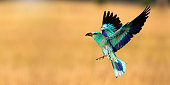 istock European roller landing on field with copy space in panoramic shot 1316059240