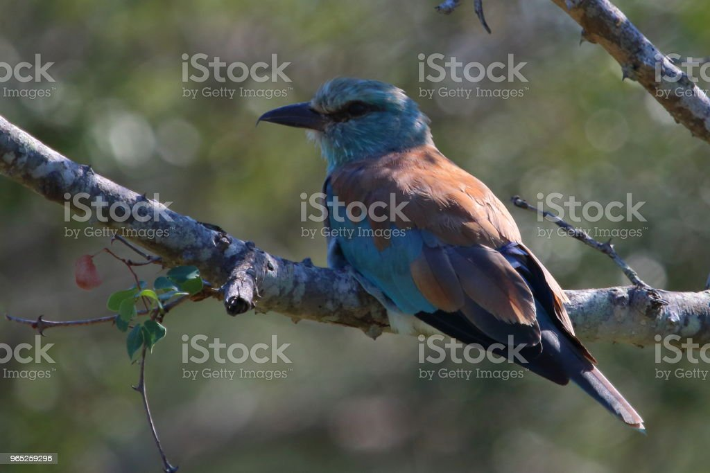 European Roller Perched in a Tree royalty-free stock photo