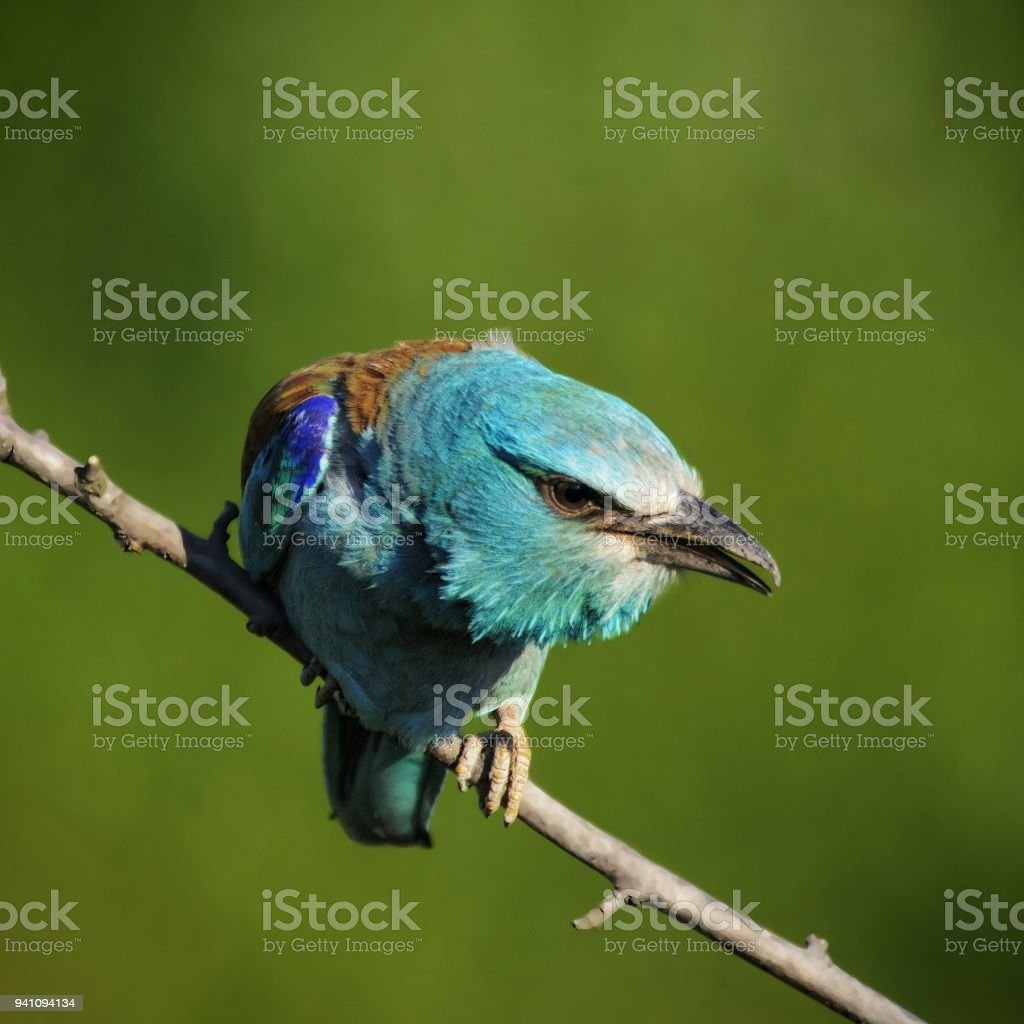 European roller sitting on a branch on a beautiful background stock photo