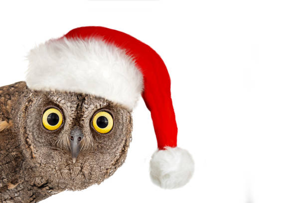 European scops owl, Otus scops, with santa hat. Isolated on white background stock photo