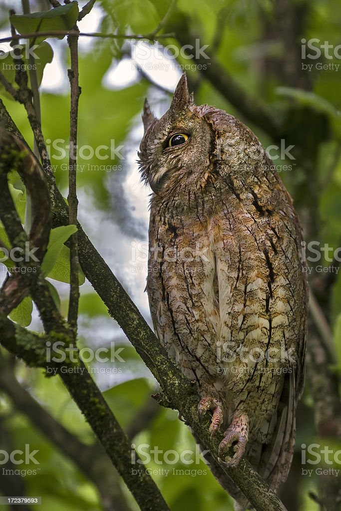 European Scops Owl stock photo