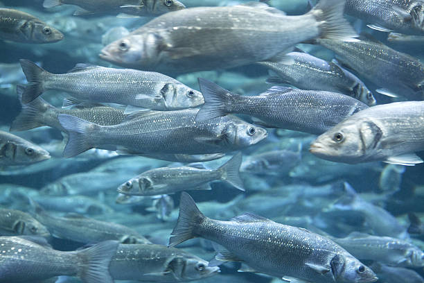 european sea bass - aquaculture stock pictures, royalty-free photos & images