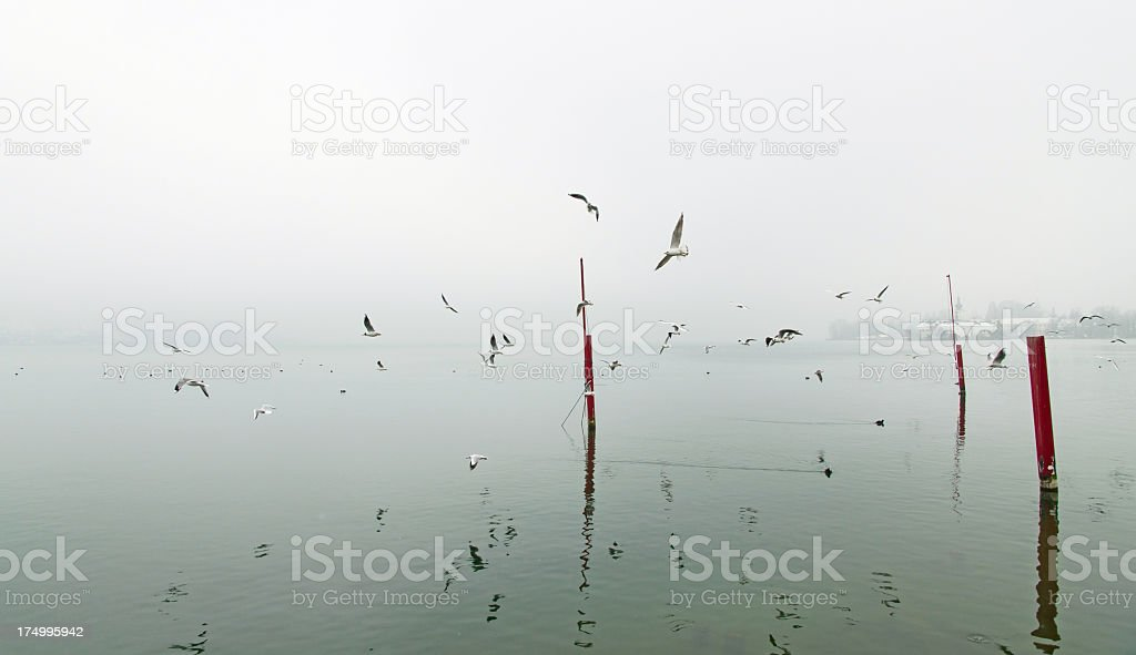 European Seagull royalty-free stock photo